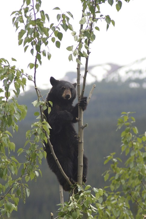 Bearcub in tree
