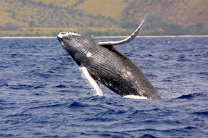 bultrug walvis (Humpback Whale) | Bay of Fundy