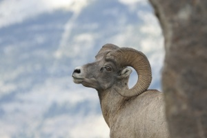 Big Horn Sheep | Clearwater