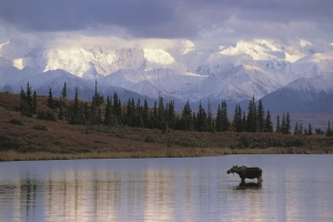 een eland in het water | Denali National Park