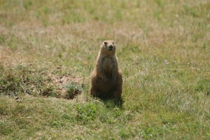 prairie dog | Devils Tower National Monument