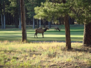 grazende herten in Forest Highlands | Flagstaff