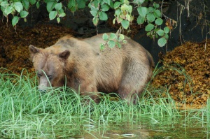 grizzly in Khutzeymateen | Prince Rupert