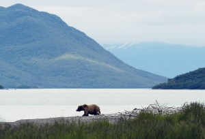 Grizzly langs het water | Richardson Highway
