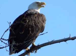 Bald Eagle | Talkeetna