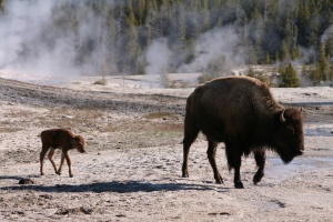 bison met jong | Yellowstone National Park